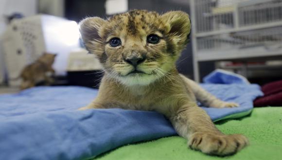 """El jefe de la ONU """"adopta"""" una leona en Kenia"""