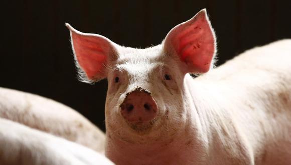Craig Venter tratará de crear órganos humanizados en cerdos