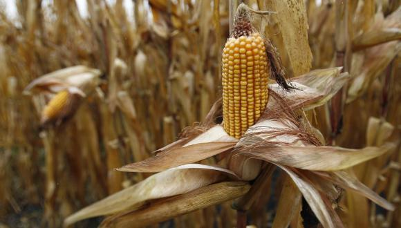 La aplicación de tecnología para el cultivo de maíz podría lograr que su rendimiento sea mayor. (Foto: Reuters)