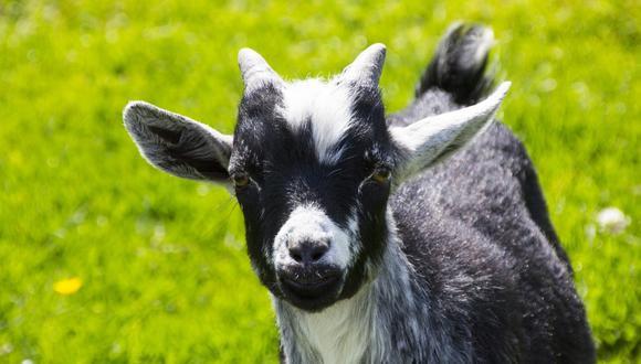Las cabras demostraron tener un mayorritmo cardíaco cuando escuchaban un balido positivo en comparación con uno negativo. (Foto: Referencial - Pixabay)