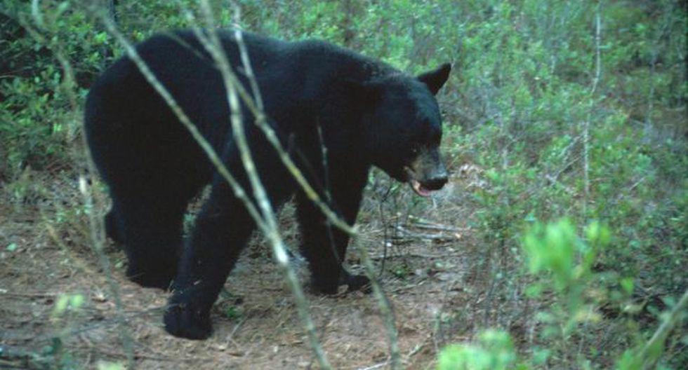 Estados Unidos: Más de 200 osos fueron cazados en un día