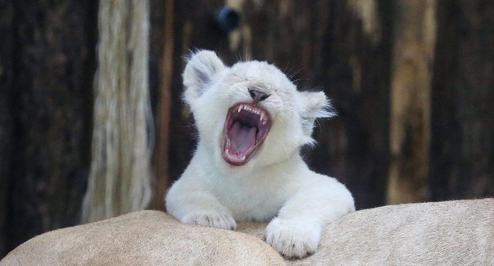 Un día en la vida de los 4 cachorros de león blanco de Alemania - 1