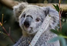 ¿De qué se trata el reconocimiento facial a koalas que se probará en Australia?