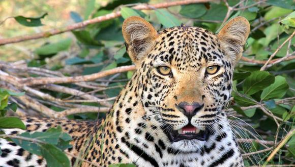 Un hombre de la India se enfrentó a un leopardo para proteger a su familia. (Foto: Referencial / Pixabay)