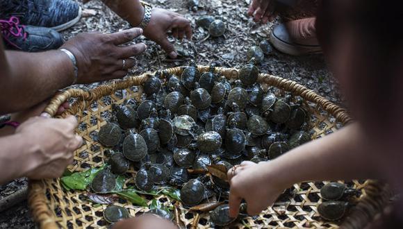 CAMINO AL RÍO. Entre la etapa de incubación y liberación transcurren de 55 a 70 días. Las crías de taricayas crecen hasta los cuatro centímetros.