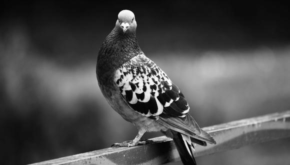 El video de la paloma ha sido reproducido más de 5 mil veces. (Pixabay)
