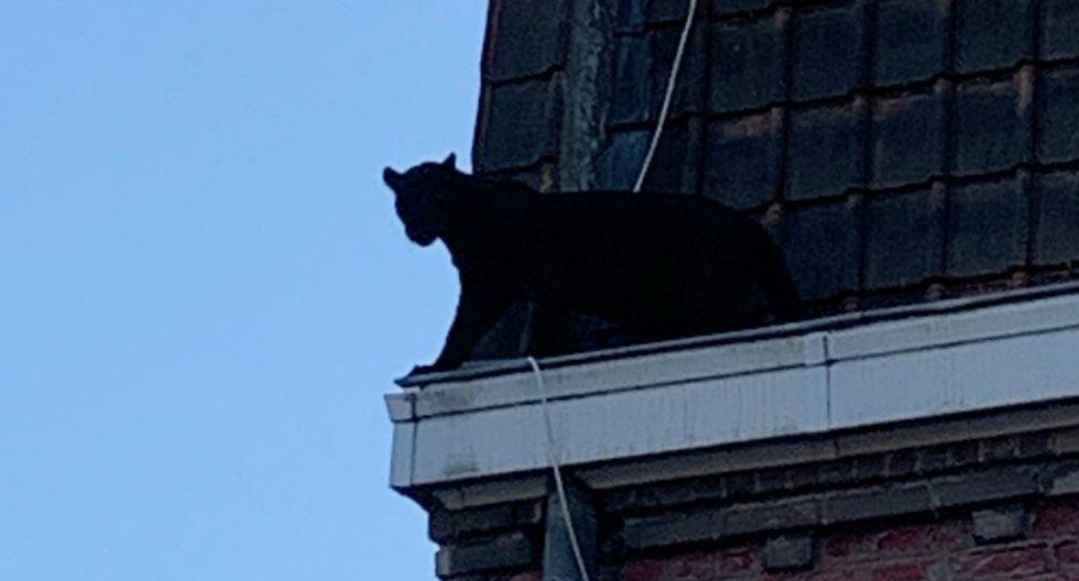 El animal fue captado deambulando tranquilamente por el borde de un tejado en el tercer y último piso de un edificio de ladrillos, inclinándose al vacío y mirando por la ventana de un apartamento. (Foto: AFP)