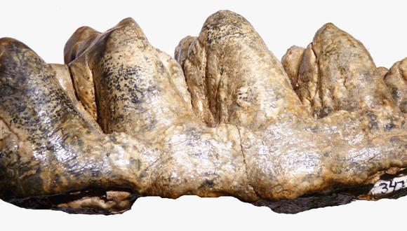 Madre de Dios: mastodonte de 9.5 millones de años vivió en la selva del Perú (Foto: Ingemmet).