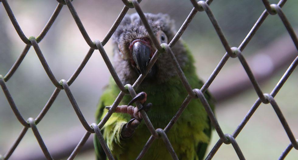 Las aves exóticas son, de acuerdo con Serfor, los animales más afectados por el tráfico de fauna silvestre en el Perú. Los venden como mascotas en el mercado nacional e internacional (Foto: Alessandro Currarino/El Comercio).