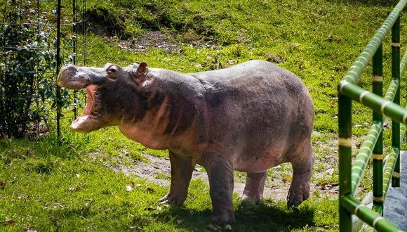 El hipopótamo es el tercer animal terrestre más grande. Es una especie invasora que no tiene depredadores en Colombia. Foto: Fundación Zoológico Santa Cruz.