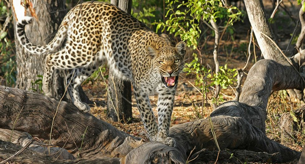 Un leopardo protagoniza la caza más insólita en el reino animal, al convertir a una hiena en su almuerzo. (Foto: Pixabay / referencial)