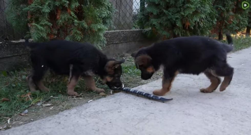 Cachorros actuaron de la forma más inesperada al ver una serpiente robot. (Foto: Captura YouTube)